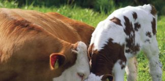 why cruelty free cow